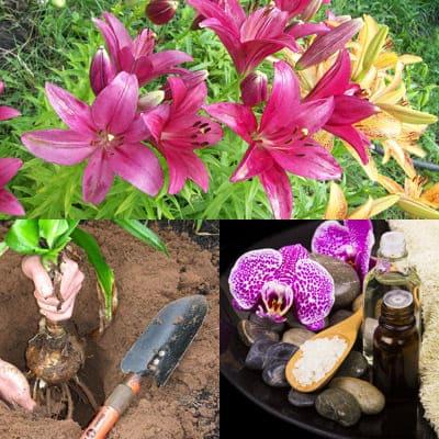 Как выращивать лилию?
